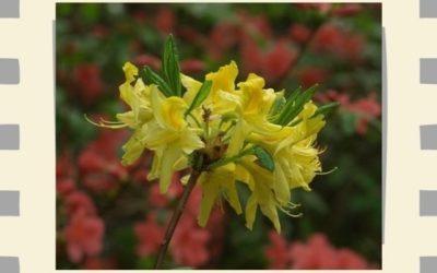Rhododendron virágzás a Jeli arborétumban